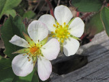 Coastal Strawberry - Fragaria chiloensis  2a.JPG