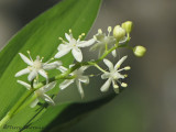 Star-flowered Solomons-seal - Smilacena stellata 5a.JPG