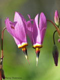 Few-flowered Shootingstar - Dodecatheon pulchellum 1a.jpg