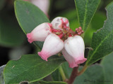 Dwarf Bilberry - Vaccinium caespitosum 1a.jpg