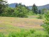 Harewood Plains meadow 1a.jpg