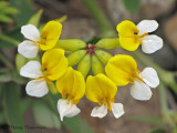 Bog Birds-foot Trefoil - Lotus pinnatus 1a.jpg