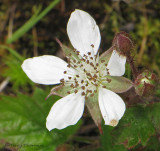 Five-leaved Bramble - Rubus pedatus 1a.jpg