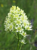 Meadow Death Camas - Zygadenus venenosus 3a.jpg