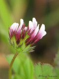 Whitetip Clover - Trifolium variegatum 2a.jpg