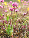 Sea Blush - Plectritis conjesta 7a.jpg