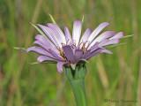 Common Salsify - Porrifolius dubius 1a.jpg