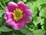 Nootka Rose - Rosa nutkana 3a.jpg