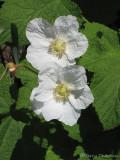 Thimbleberry - Rubus parviflorus 1.JPG