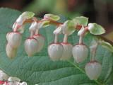 Salal - Gaultheria shallon 5b.jpg