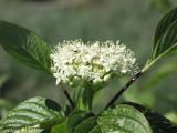 Red-osier Dogwood - Cornus stolonifera  1.JPG