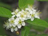 Bitter Cherry - Prunus emarginata 1a.jpg
