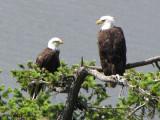 Bald Eagle pair 1b.JPG