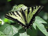 Butterflies and Moths of B.C.