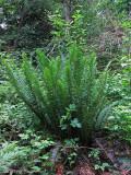 Sword Fern - Polystichum munitum 1a.jpg