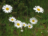 Oxeye daisy - Leucanthemum vulgare 1a.jpg