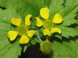 Large-leaved Avens - Geum macrophyllum 1a.jpg
