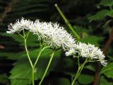 False Bugbane - Trautvetteria caroliniensis 2.JPG