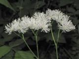 False Bugbane - Trautvetteria caroliniensis 1a.jpg
