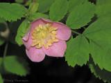 Dwarf Rose - Rosa gymnocarpa 1a.jpg
