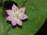 Broad-leaved Starflower - Trientalis latifolia 3a.jpg