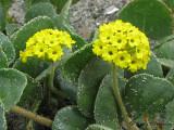 Yellow Sand-verbena - Abronia latifolia 2a.jpg