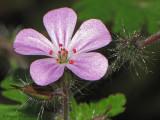 Herb-robert - Geranium robertianum 5a.jpg