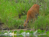 Black-tailed Deer drinking 1a.jpg