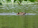 Beaver and young 1a.JPG