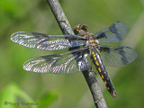 Libellula forensis - Eight-spotted Skimmer female 4a.jpg