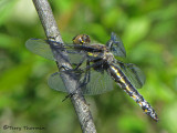Libellula forensis - Eight-spotted Skimmer female 3a.JPG