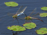 Common Green Darners flying in tandem 1b.jpg