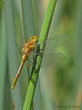 Sympetrum pallipes - Striped Meadowhawk freshly emerged 1b.jpg