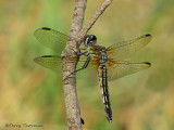 Pachydiplax longipennis - Blue Dasher female 11a.jpg