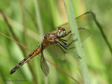 Pachydiplax longipennis - Blue Dasher female 9a.jpg