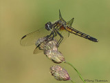 Pachydiplax longipennis - Blue Dasher female 6a.jpg