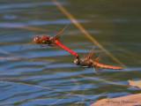 Sympetrum illotum - Cardinal Meadowhawks flying in tandem 4a.jpg