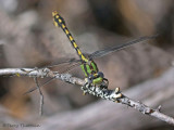 Ophiogomphus occidentis - Sinuous Snaketail  5a.jpg