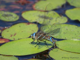 Rhionaeschna multicolor - Blue-eyed Darner female ovipositing 2a.jpg
