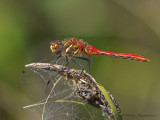 Sympetrum pallipes - Striped Meadowhawk 8a.jpg