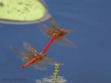 Sympetrum illotum, Cardinal Meadowhawks flying in tandem 5b.jpg