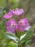 Kalmia microphylla Western Bog-laurel 3a.jpg