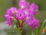 Kalmia microphylla Western Bog-laurel 5a.jpg