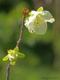 Rhododendron albiflorum White-flowered Rhododendron 3a.jpg