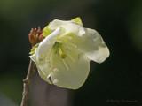 Rhododendron albiflorum White-flowered Rhododendron 5b.jpg