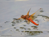 Sympetrum illotum Cardinal Meadowhawk in flight 3a.jpg