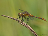 Sympetrum pallipes Striped Meadowhawk female 2a.jpg