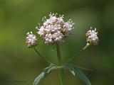 Valeriana sitchensis Sitka Valerian 1a.jpg