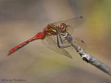Sympetrum pallipes - Striped Meadowhawk 9a.jpg