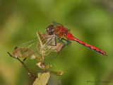 Sympetrum obtrusum White-faced Meadowhawk 3a.jpg